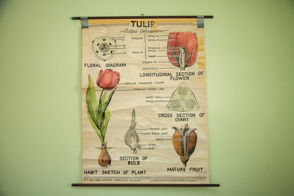 Vintage 1947 Tulip Science Chart