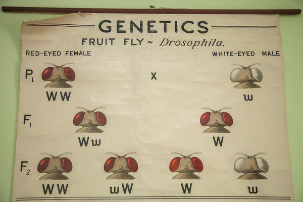 Vintage 1941 Fruit Fly Science Chart - Old New House