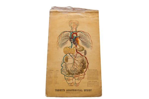 Antique 19th Century Anatomical Chart Yaggy's Blood Formation - Old New House