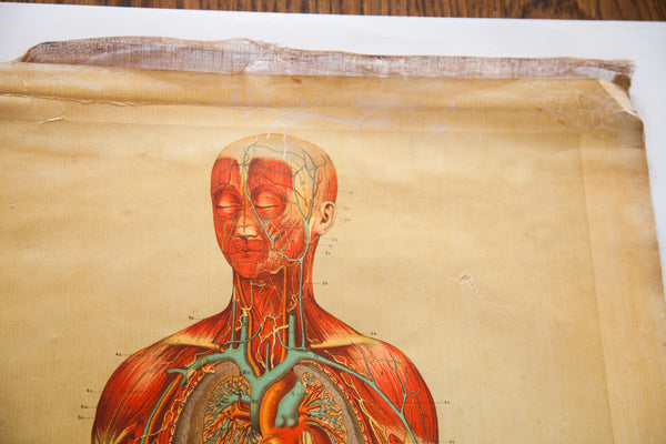 Antique 19th Century Anatomical Chart Yaggy's Muscle Skeleton Man - Old New House