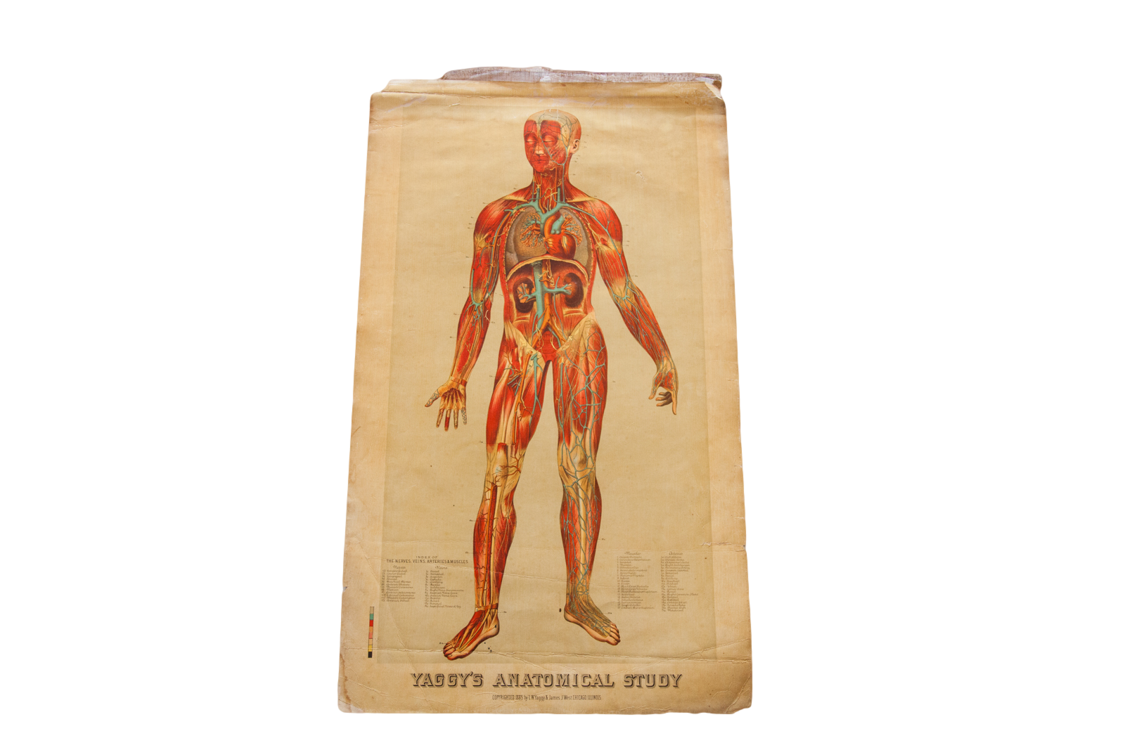 Antique 19th Century Anatomical Chart Yaggys Muscle Skeleton Man