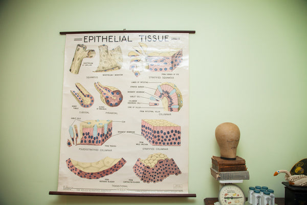Vintage 1960's Epithelial Tissue Pulldown Anatomy Chart - Old New House