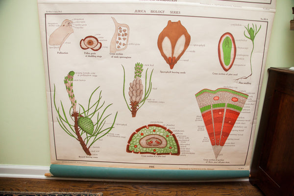 Rare Early 20th Century Jurica Biology Series Botanical Pulldown Chart - Old New House