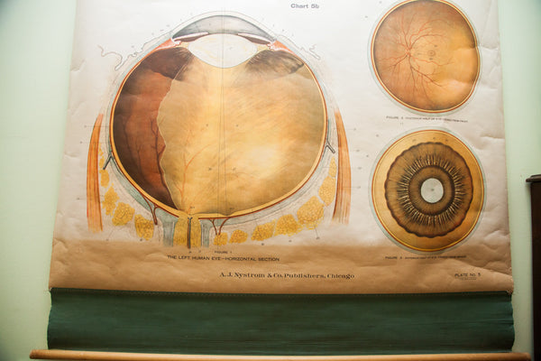 Rare Early 20th Century Vintage American Frohse Classroom Eye Ear Anatomical Chart Pulldown - Old New House