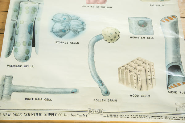 Vintage Classroom Pull Down Science Chart of Typical Cells - Old New House