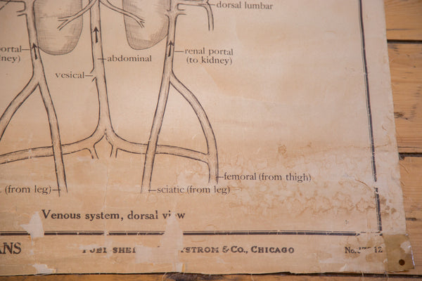 Early 20th Century Pull Down Chart of Frog Circulatory System - Old New House