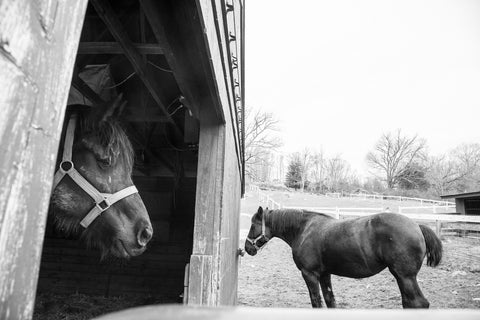 Muscoot Farm Horse Photograph