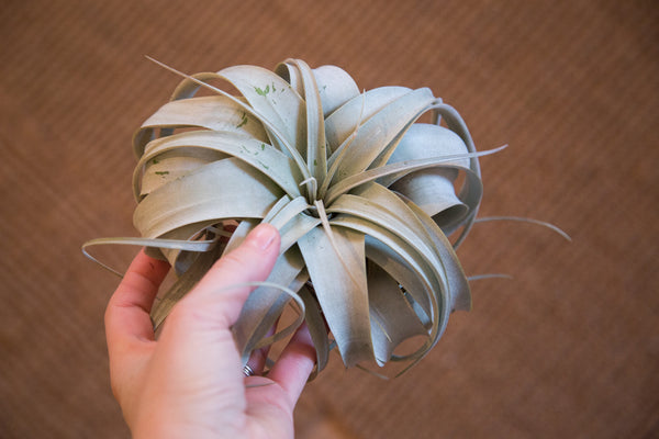 Air Plant Large Xerographica - Old New House