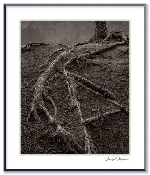 Dilmaghani Black and White Photograph, Creeping Tree Roots, CT