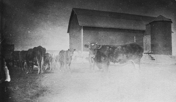 Antique Experimental Photograph Revival, Grainy Cows - Old New House