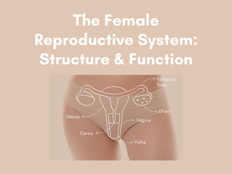 Getting to know the female reproductive system