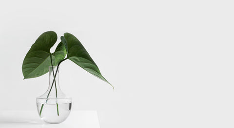 Plant in a vase on a white desk with a white background. Office plant.