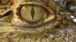 Crocodile tears may help lead to new dry eye treatments