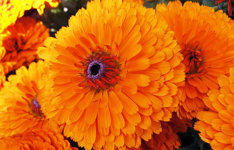 marigold flowers photograph