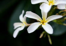 Load image into Gallery viewer, Frangipani Candle