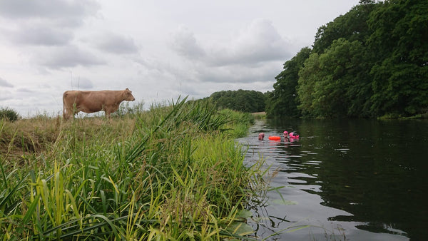 Landscape photo with a cow on the riverbank and Judie and Kitty in the water