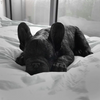 Frenchie Sleeping - Black - The Home Accessories Company 1