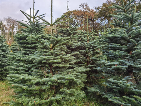 Noble Fir (Slow Drop) Christmas Tree 6 to 7ft