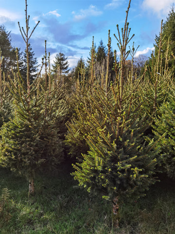 Traditional Norway Spruce Christmas Tree 6/7ft