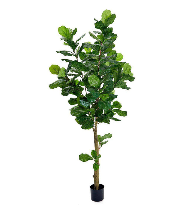 Mr Plant Fiolfikus 210 cm - Interior 55
