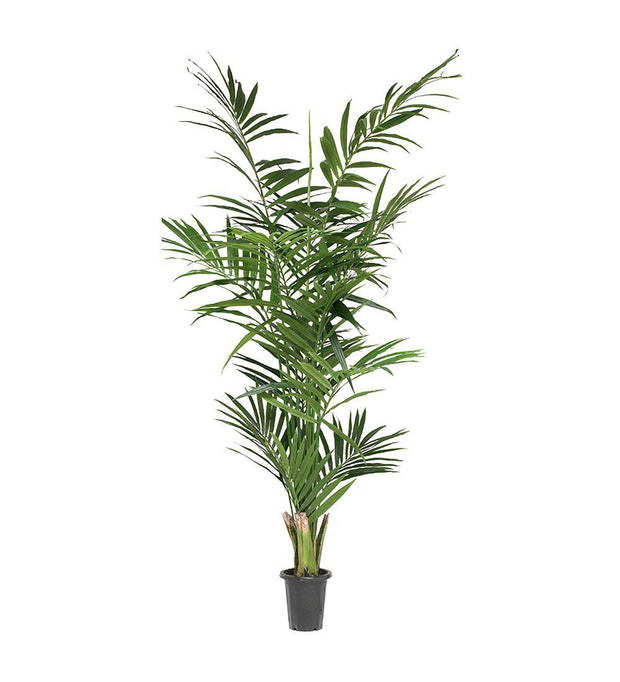 Mr Plant Kentia palm 240 cm - Interior 55