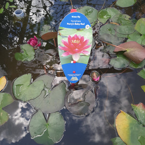 Nymphaea Perry's Baby Red - Water Lily (2 Litre)