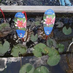 Nymphaea Pygmaea Rubra - Red Water Lily (2 Litre)