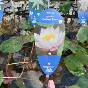 Nymphaea Marliacea Rosea- Pink Water Lily
