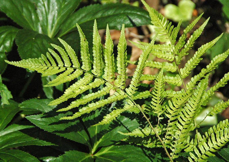 Dryopteris erythrosora- Japanese shield fern