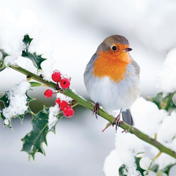 Christmas Card - Holly Robin