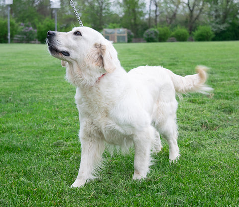 Kelly a Female English Creme Golden Retriever from Creekside Puppy Adoption