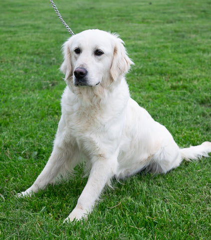 Kelly is a Female English Creme Golden Retriever from Creekside Puppy Adoptions