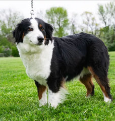 Bailey is Female Mini Aussie from Creekside Puppy Adoptions