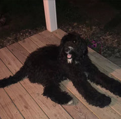 Dexter is a Bernedoodle from the Crouch family