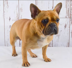 Georgia is a Female AKC French Bulldog from Creekside Puppy Adoption