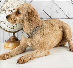 Huck is a Male Mini Poodle from Creekside Puppy Adoptions