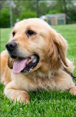 Kara is a Female Golden Retriever from Creekside Puppy Adoptions