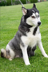 Kendra a Female Huskie from Creekside Puppy Adoptions
