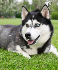 Kendra is a Female Huskie from Creekside Puppy Adoptions