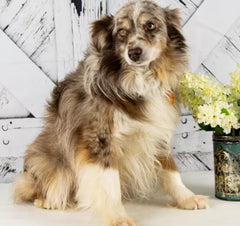 King is a Male Mini Aussie from Creekside Puppy Adoptions