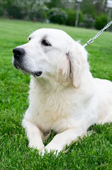 Krista is a Female English Creme Golden Retriever from Creekside Puppy Adoptions