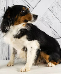 Lady a Mini Aussie from Creekside Puppy Adoptions