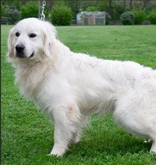 Luke is a Male English Creme Golden Retriever from Creekside Puppy Adoptions