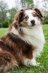 Max a Male Mini Aussie from Creekside Puppy Adoptions