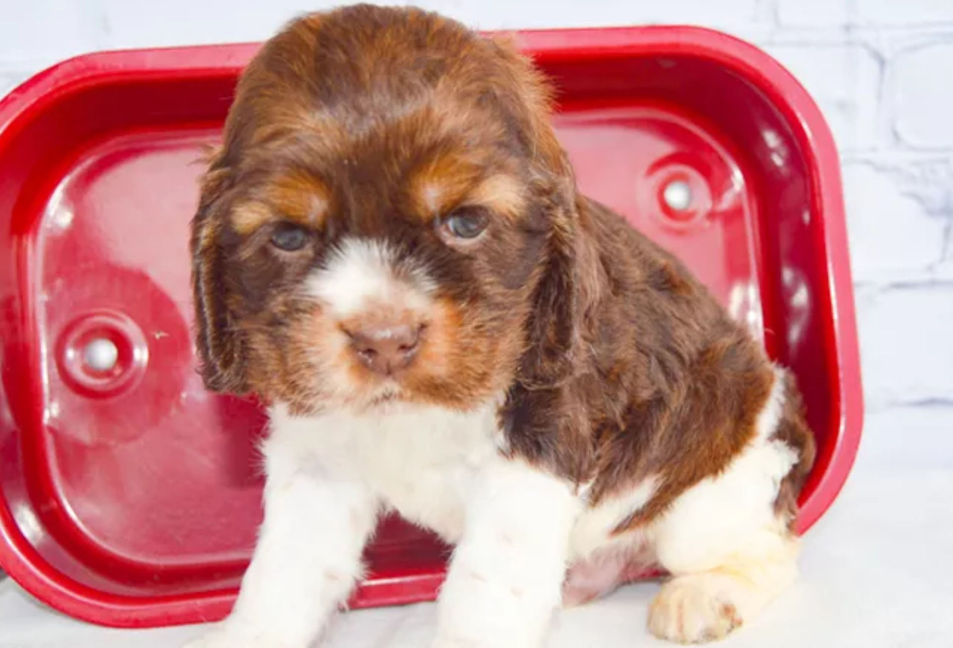 A brown puppy from Creekside Puppy Adoptions