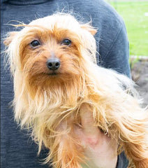 Zach a Male Toy Yorkie from Creekside Puppy Adoptions
