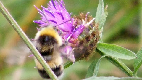 bee on purple common knapweed