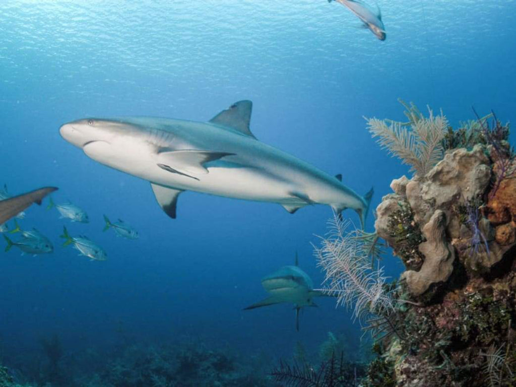 Atlantic Black Tipped Shark by Schmidt