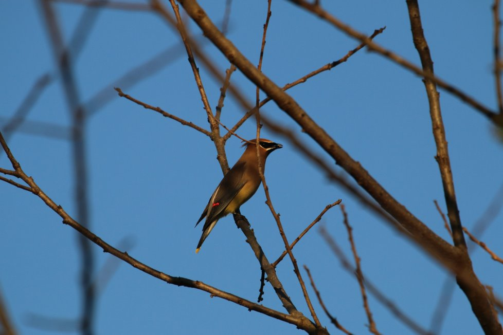 Schmidt Fine Art Gallery Collection: Cedar Waxwing taken by Clint Murchison