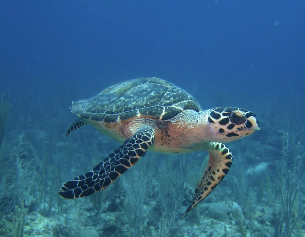 Sea Turtles:  Endangered Species Act Helping them to come back from the Brink.